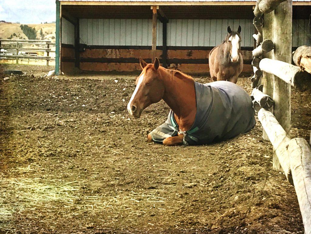 how-horses-sleep-sternal-recumbency