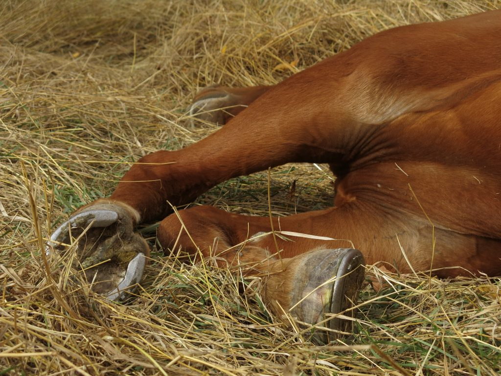 how-horses-sleep-hooves