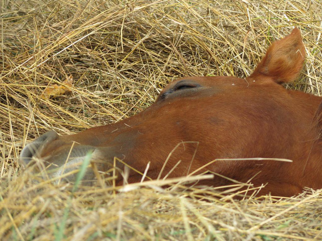 how-horses-sleep-hay