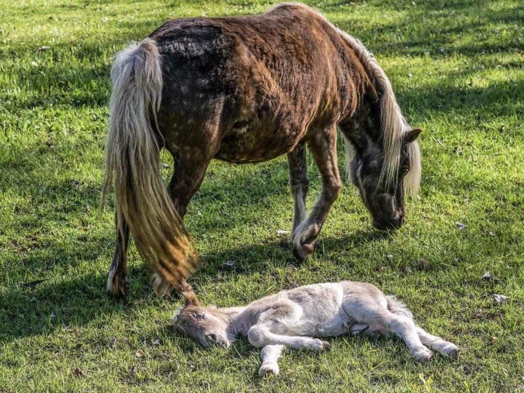baby horse sleeping