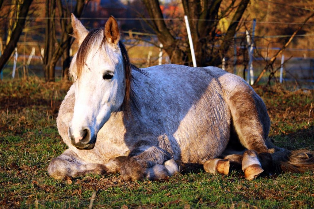 horse sleep deprivation