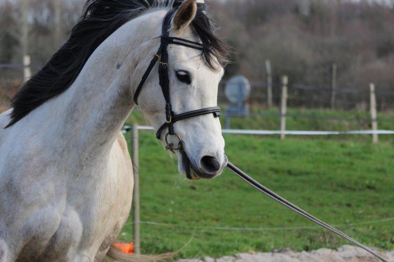 best-bits-arabian-horse