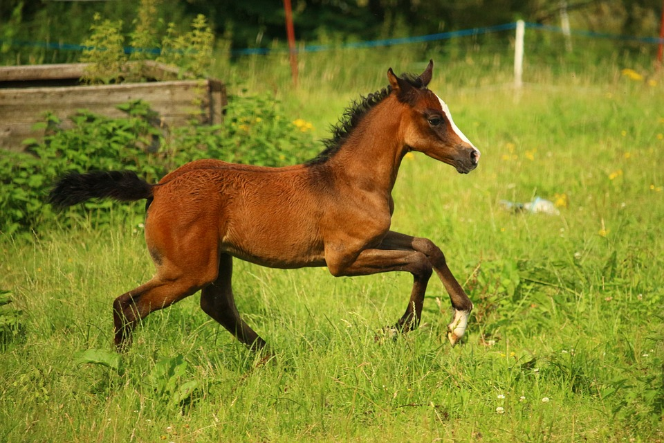 Horse-Life-Stages-Foal