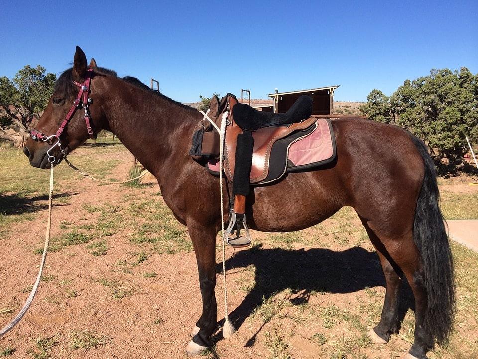 morgan-horse-beginner-breed-min