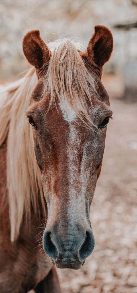 horse-life-stage-senior