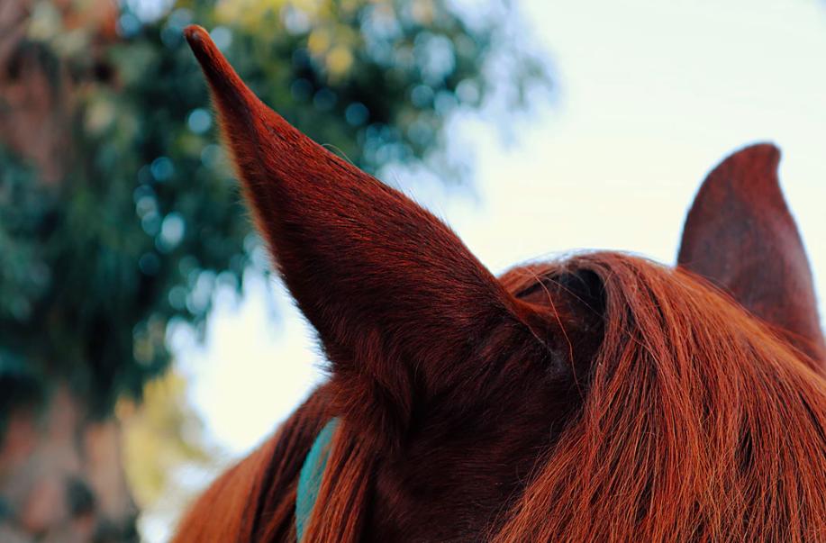 horse-ears