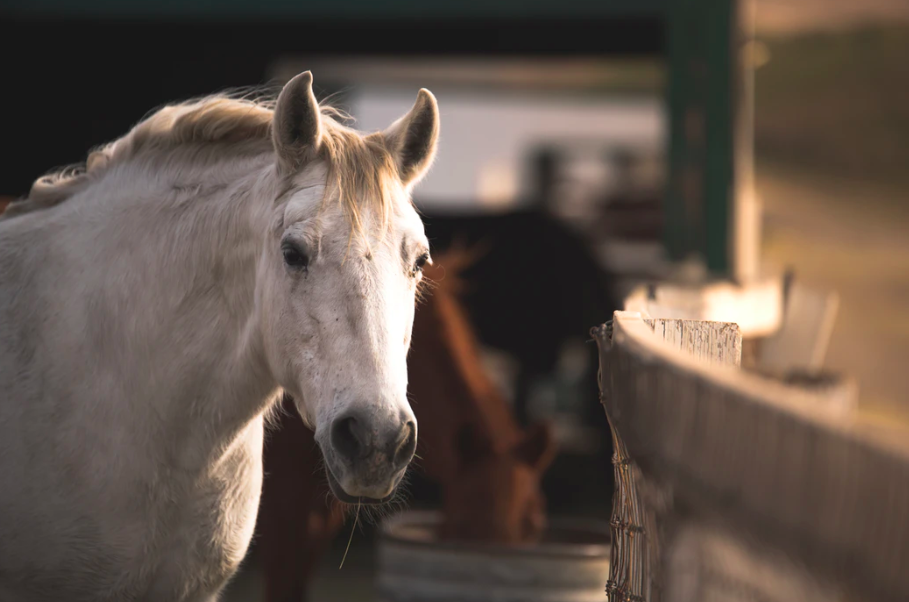 grade horse