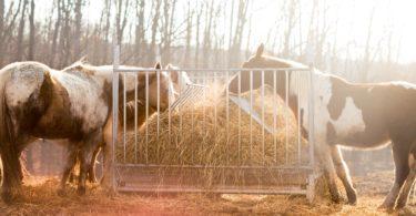 Horses eating hay in winter