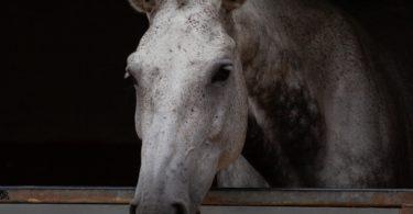 horse for heavy rider