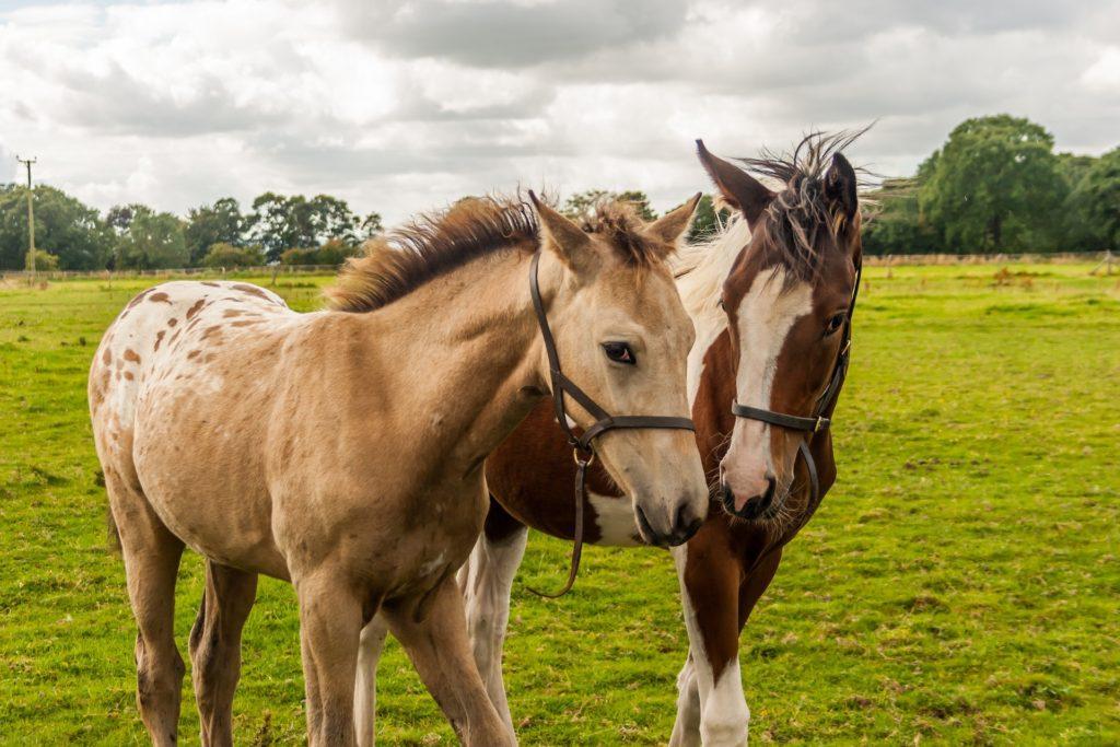appaloosa-paint-foals