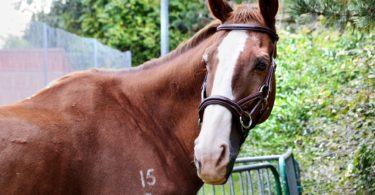 anatomical horse bridle
