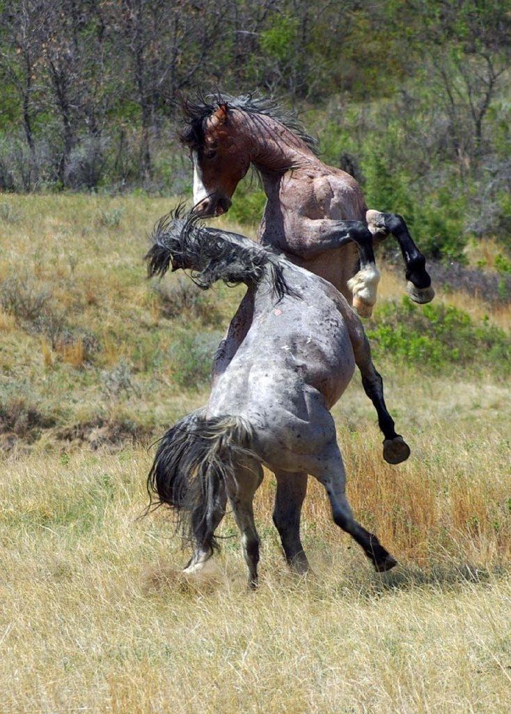 horse herd hierarchy