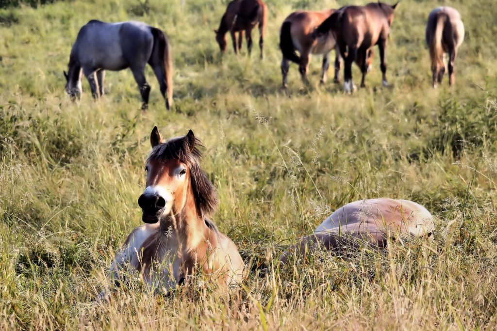 horses sleeping in a herd