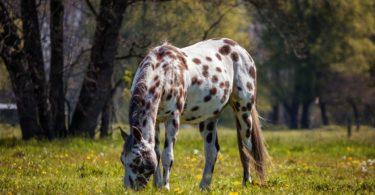 spotty-horse