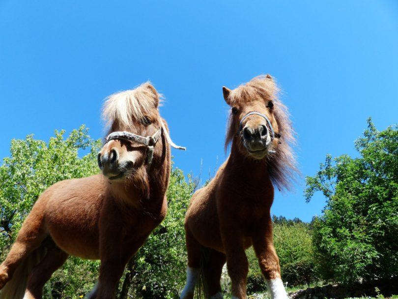 shaggy shetland ponies