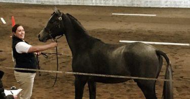 horse show colt