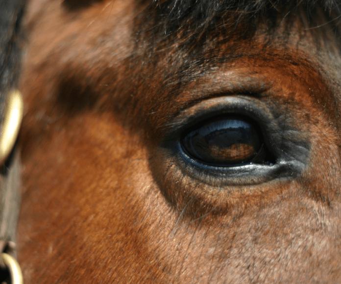 bay horse eyes