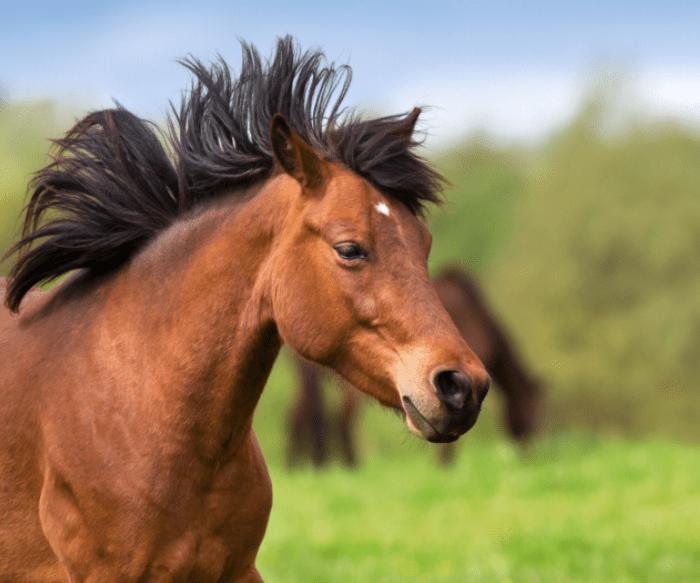bay mare