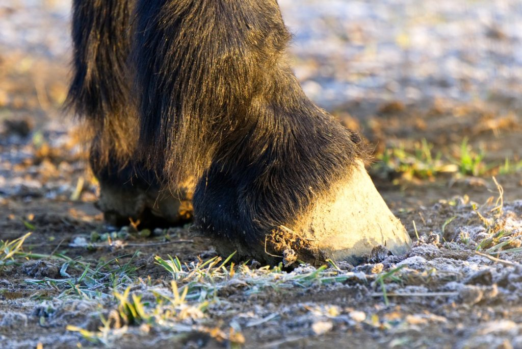 black horse hooves
