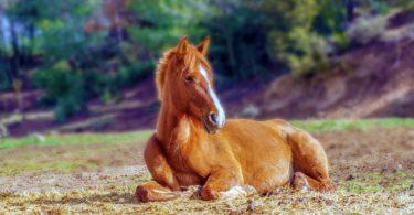brown horse lying down
