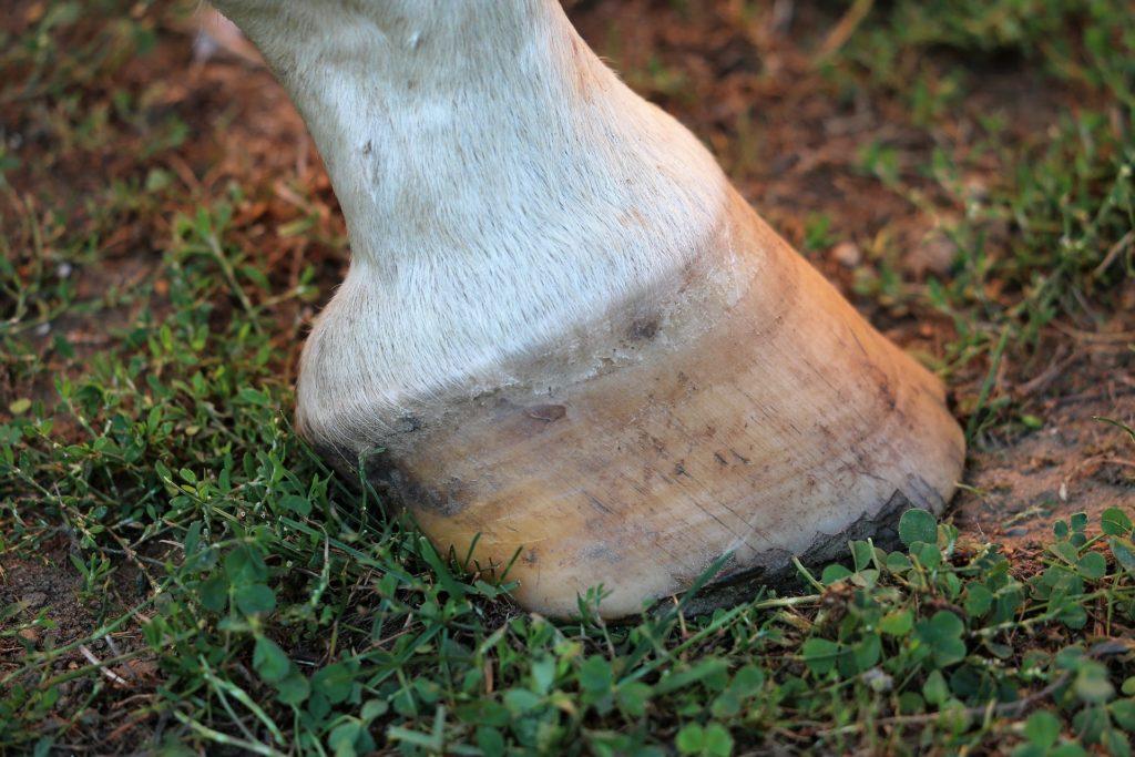 horse hoof on grass