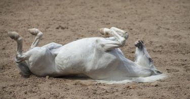 horse in sand paddock