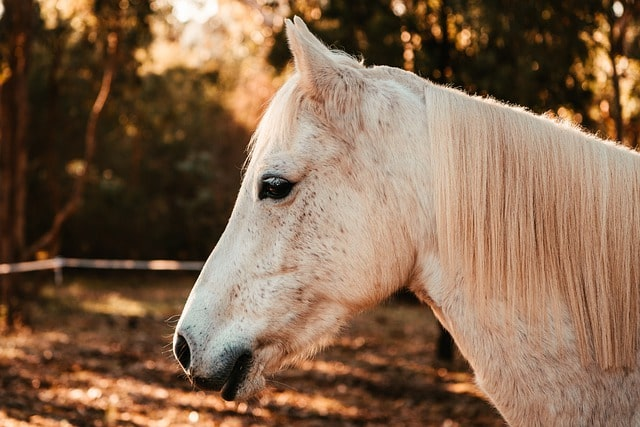 white horse face