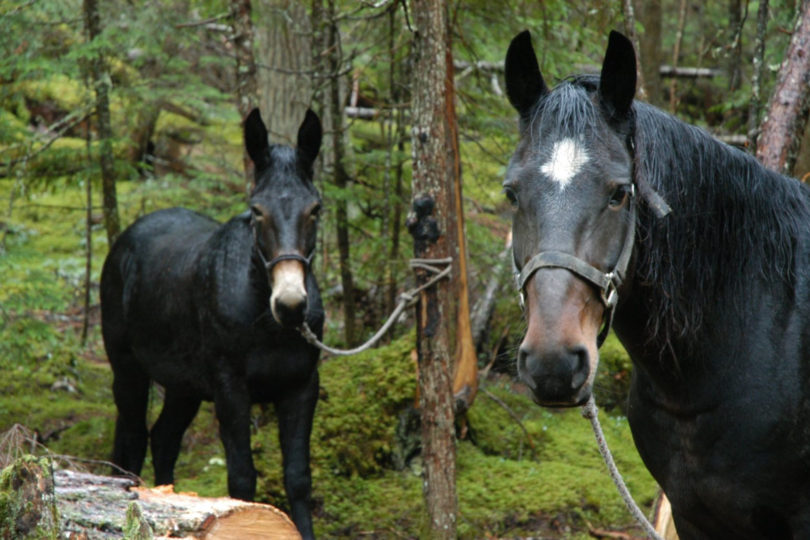 hunting horses tied to trees