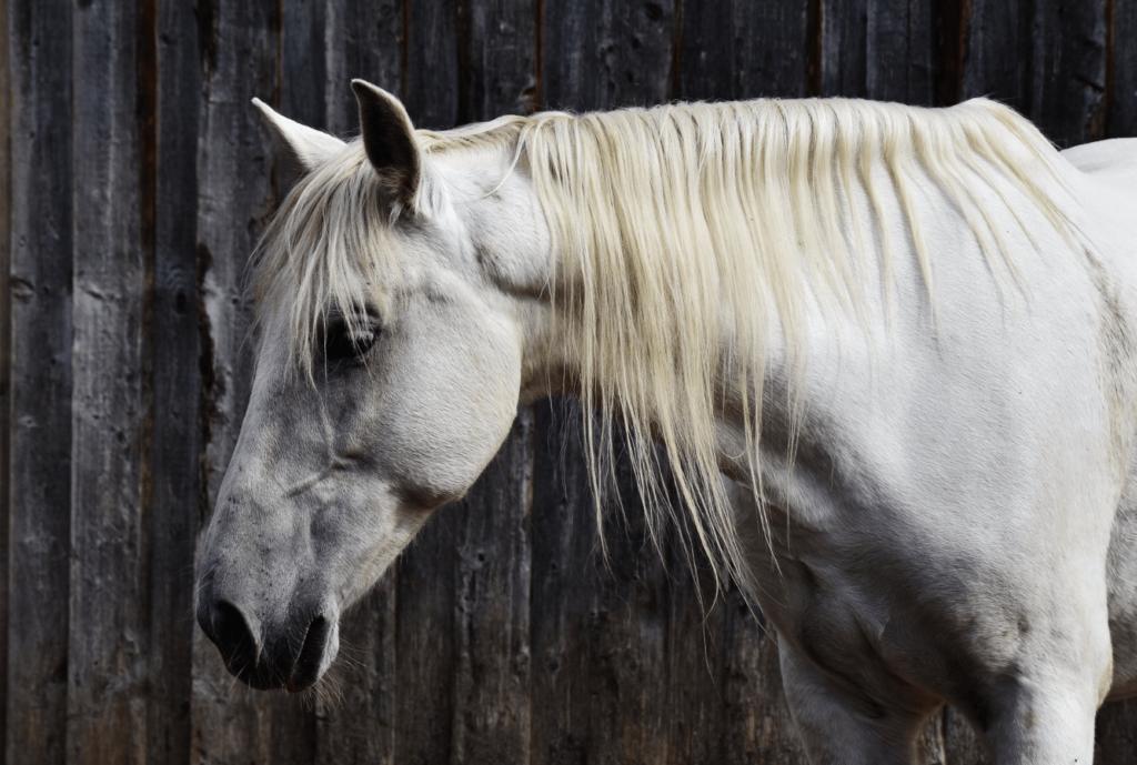 healthy white horse