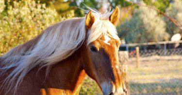 biggest horse breed
