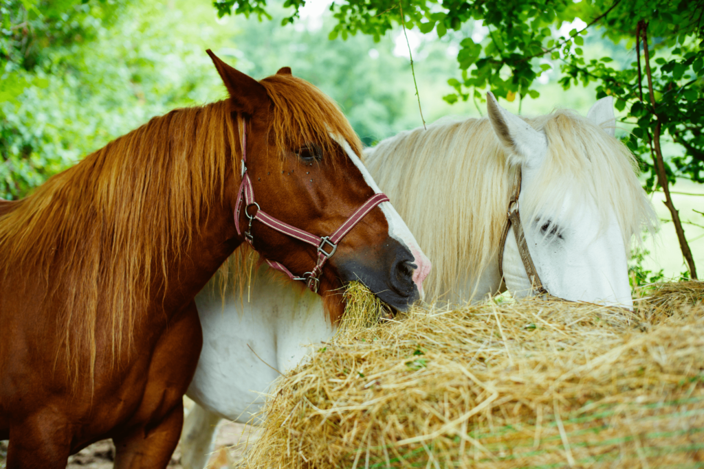 horses eating hay bale