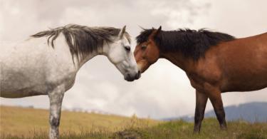 horse genders