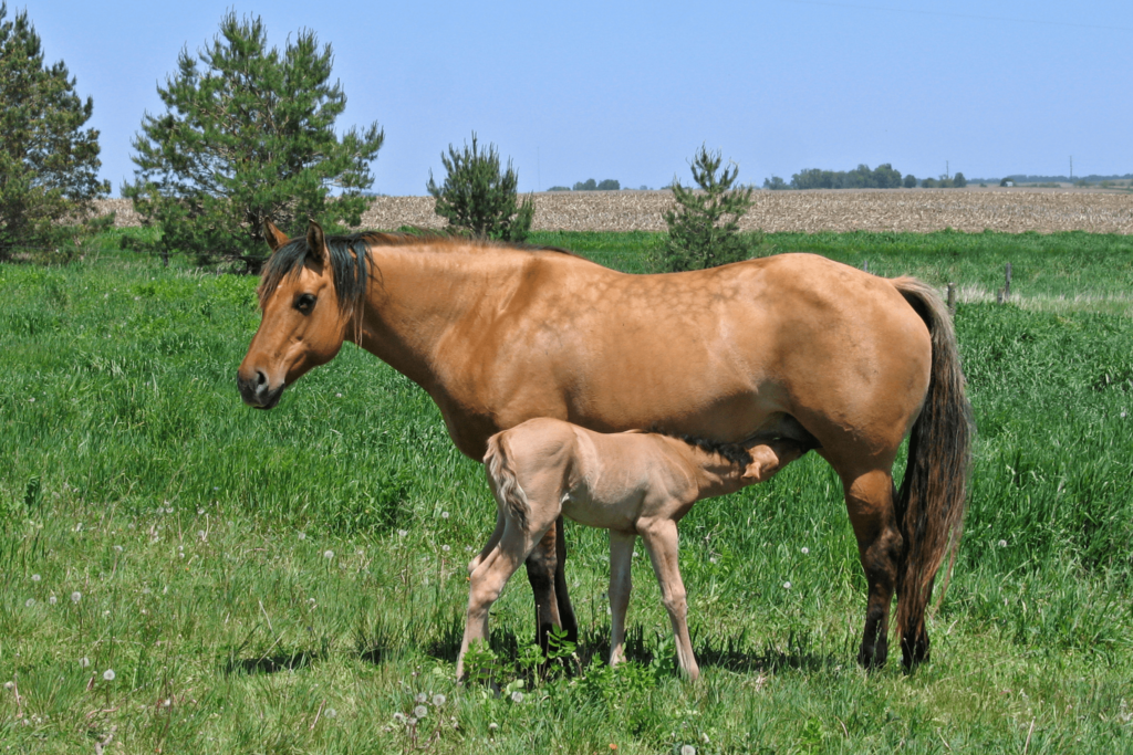 female horse and foal