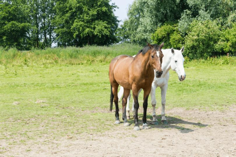 senior horses in a field
