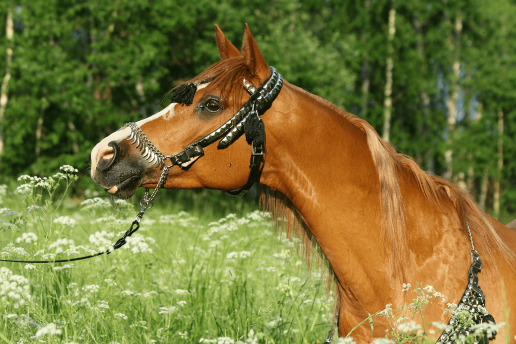 chestnut arabian horse