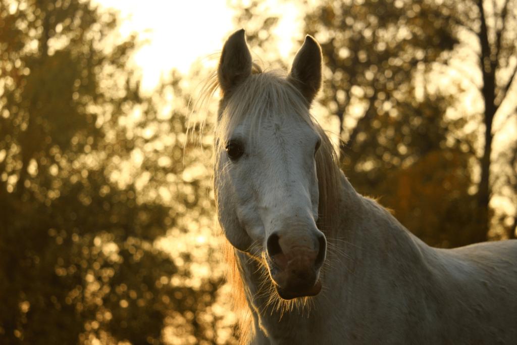 senior arabian horse