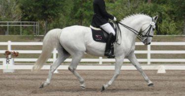 dressage white horse