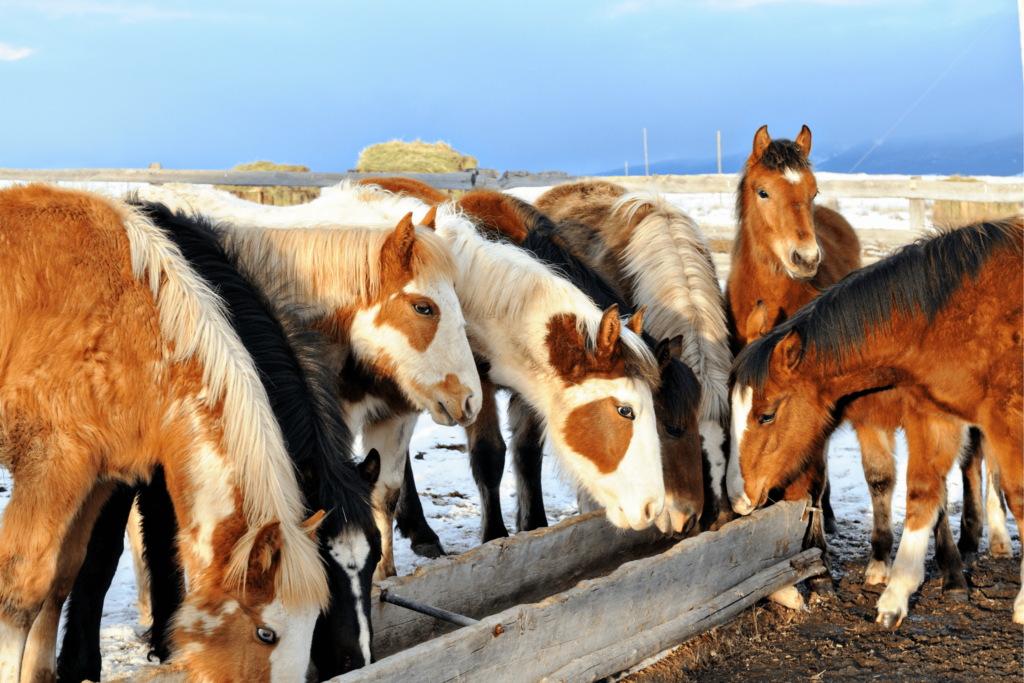 yearling horses feeding