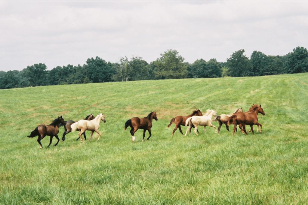 yearling horses running