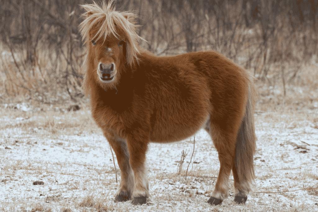 winter shetland pony