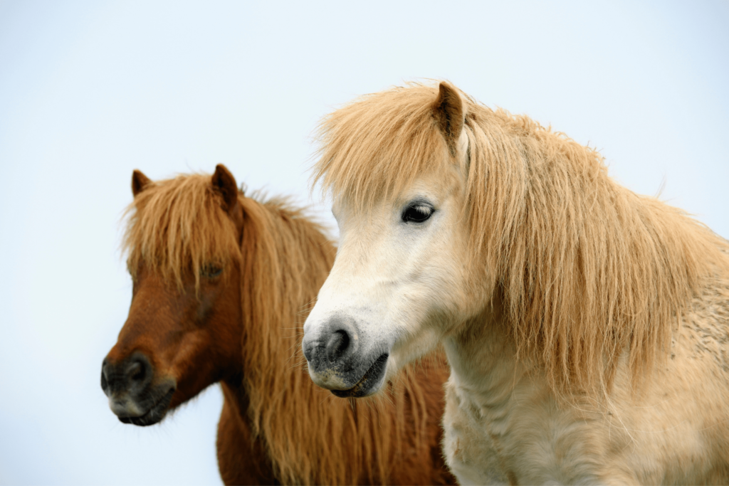 pair of shetland ponies