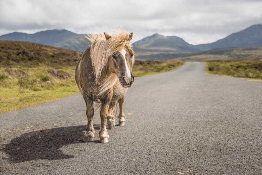 shetland pony in shetland