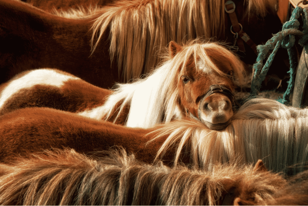 shetland ponies standing together