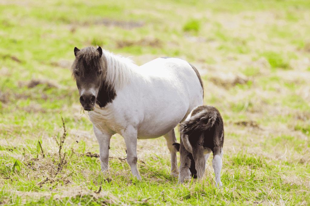 shetland pony with foal