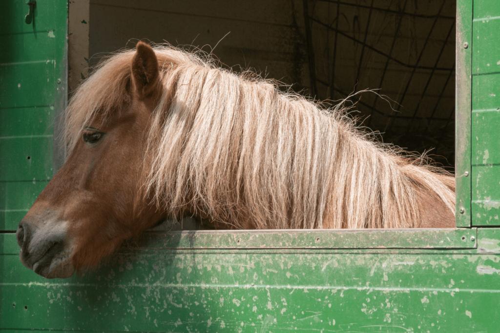shetland pony in stall