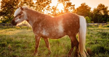 shetland pony at sunset
